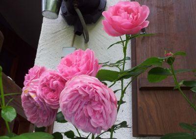 29_Rose